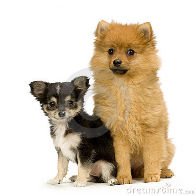 Chihuahua and a spitz