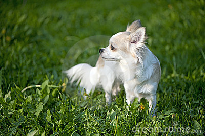 Chihuahua standing among dandelion greens