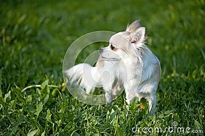 Chihuahua standing among dandelion greens