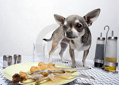 Chihuahua standing by food on table