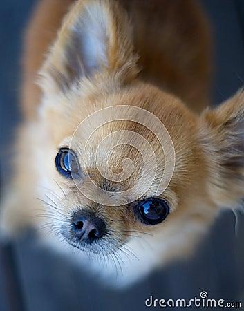 Chihuahua staring