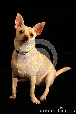 Chihuahua Sticks Out Tongue