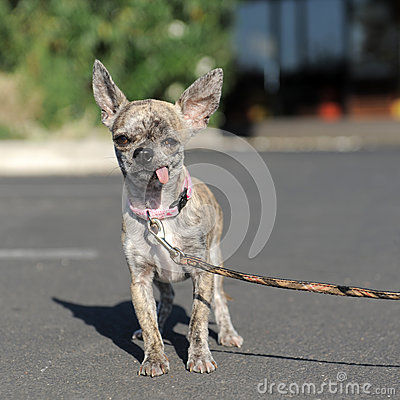 Chihuahua in the street