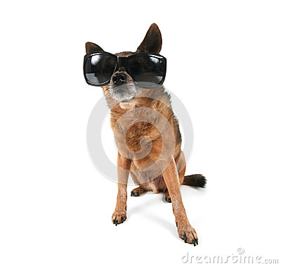 A chihuahua with sunglasses on