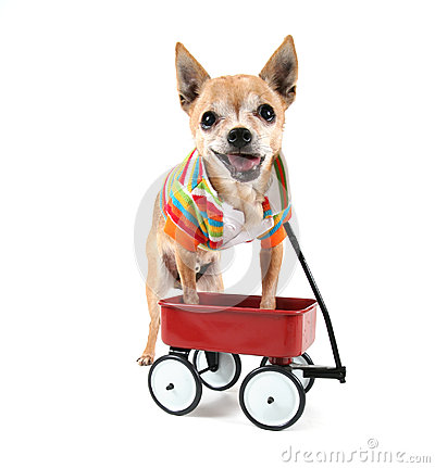 A chihuahua with a tiny wagon
