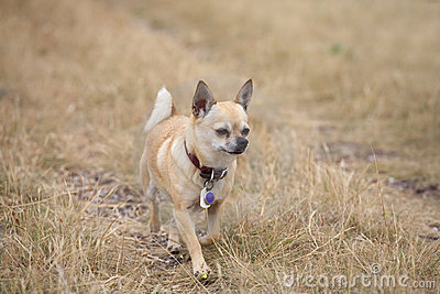 Chihuahua trotting through yellow grass