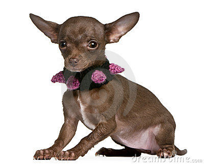 Chihuahua wearing collar, 6 months old, sitting