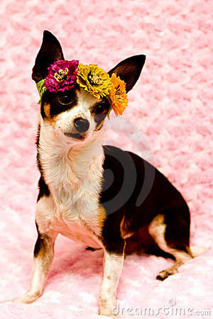 Chihuahua wearing flowers and on pink background