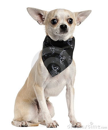 Chihuahua wearing handkerchief, 8 months old