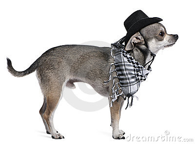 Chihuahua wearing a hat