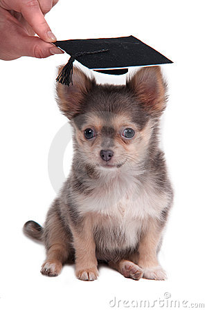 Chihuahua wearing mortar board hat for graduation
