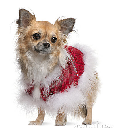 Chihuahua wearing a santa outfit