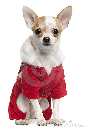 Chihuahua wearing Santa outfit, 2 and a half