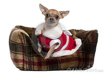 Chihuahua wearing Santa outfit, 25 months old