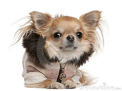 Chihuahua wearing sweater, 3 years old, lying