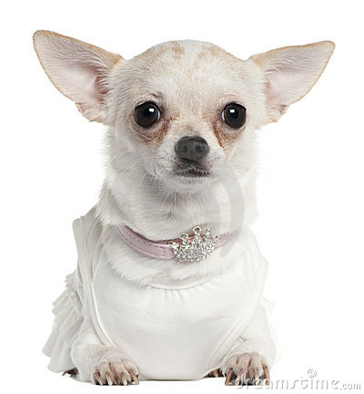 Chihuahua wearing tiara collar, 10 months old