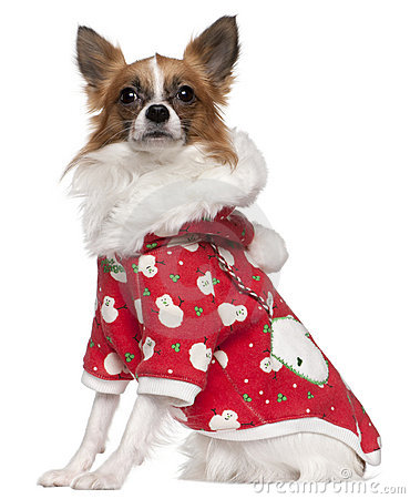 Chihuahua wearing winter outfit, 2 years old