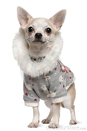 Chihuahua wearing winter outfit, 4 years old
