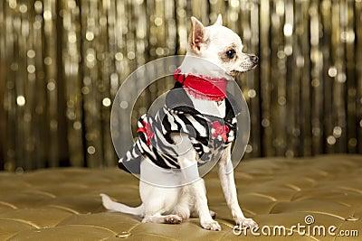 Chihuahua white dog