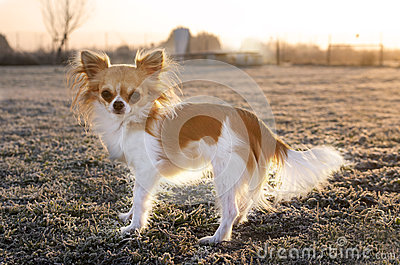 Chihuahua In Winter Royalty Free Stock Images - Image: 28715119