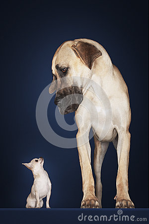 Free Chihuahua With Great Dane Standing Alongside Royalty Free Stock Photo - 31840405