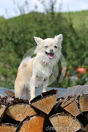 Chihuahua on wood in forest