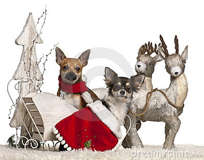 Chihuahuas, 1 year old, in Christmas sleigh