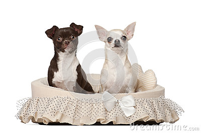 Chihuahuas, 2 and 4 years old, sitting