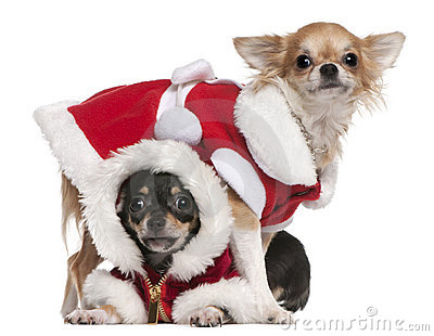 Chihuahuas dressed in Santa outfits