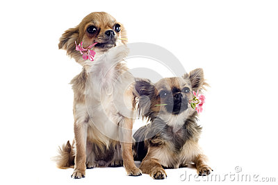 Chihuahuas and flowers