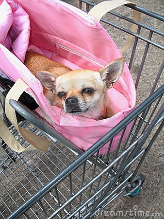 Chihuahuashoppingtrolley