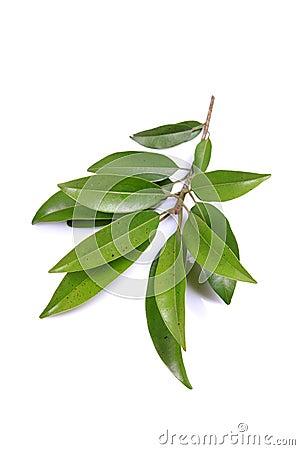 Chiku leaves