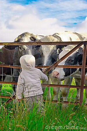 Child and Cows