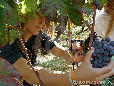 Child, female cutting grapes on a vineyard