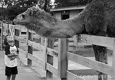 Child looking at camel in zoo