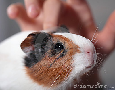 Child pets guinea pig 1