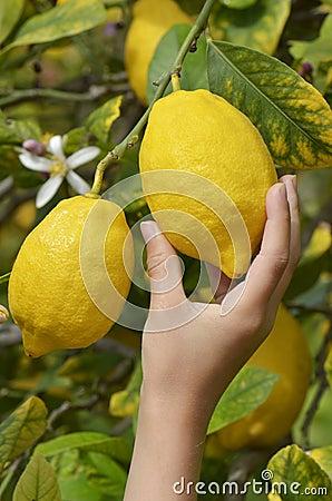Free Child Picking Lemon Royalty Free Stock Image - 24524426