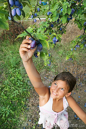 Free Child Reaching Plums From A Tree Royalty Free Stock Photography - 9167437