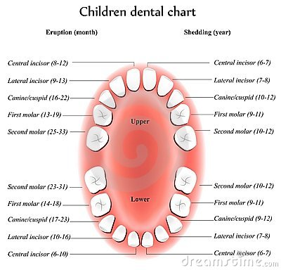 Free Children Teeth Anatomy Royalty Free Stock Photography - 19151737