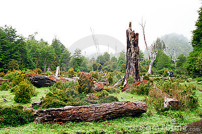 Chile skogregn