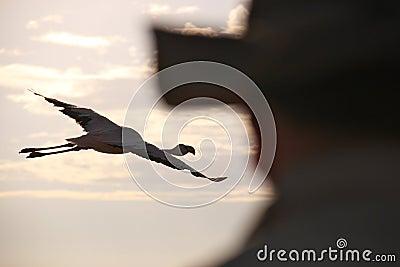 Chilean Flamingo Bird Watching