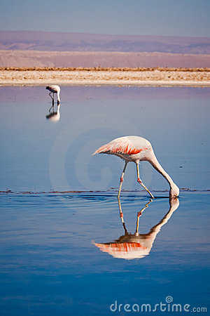 Free Chilean Flamingos Searching Food In A Lagoon Royalty Free Stock Photography - 21789407