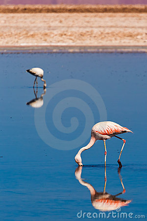 Free Chilean Flamingos Walk In A Lagoon Stock Photography - 21789482