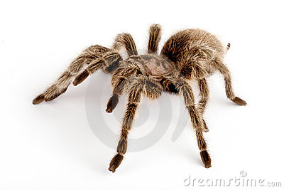 IN Chilean Rose Hair Tarantula (Grammostola rosea)