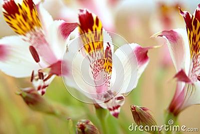 Chilean wild lily