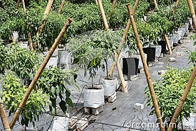 Chilli Farming