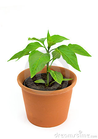 Chilli pepper plant
