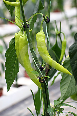 Free Chilly Plants Royalty Free Stock Image - 20940976
