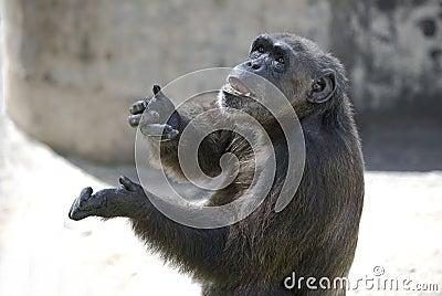 Chimp acting human