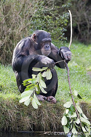 Free Chimp Breaking Stick Stock Photography - 1715922